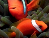 Клоун томатный. Amphiprion frenatus. Размер М.